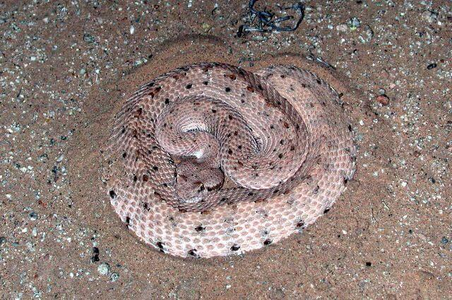 Rattlesnakes In Colorado Map.6 Venomous Rattlesnakes In California And How To Identify Them Eureka